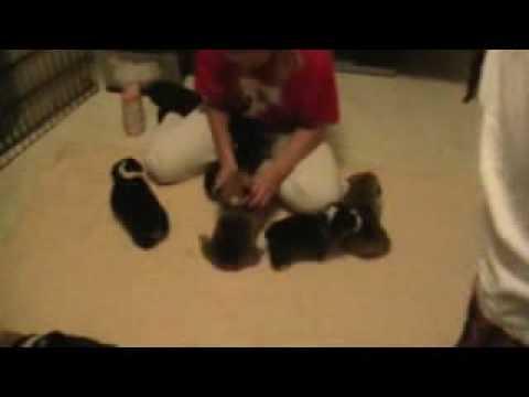 3 wk old puppies by Kiara and Baron
