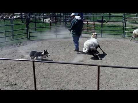Sully meets sheep! 4-18-2010