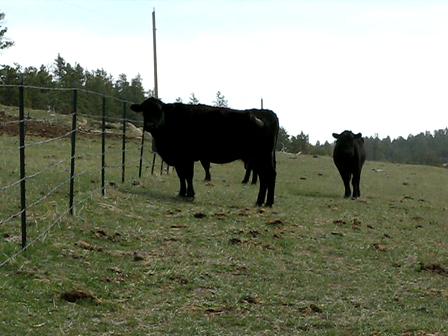 Corgi pack vs 3 cows (guess who won?) :)