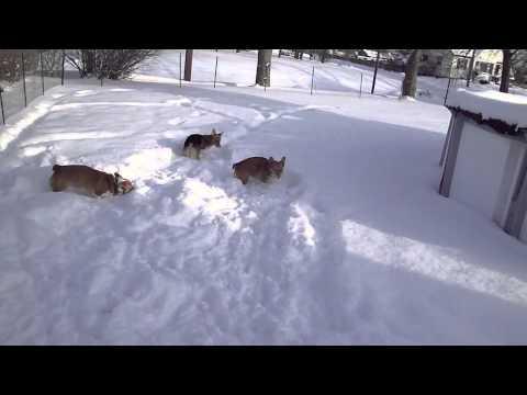 Dakota, Tanner, Ryley  Corgis in the Snow