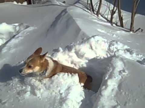 Corgi Stuck in Snow Drifts