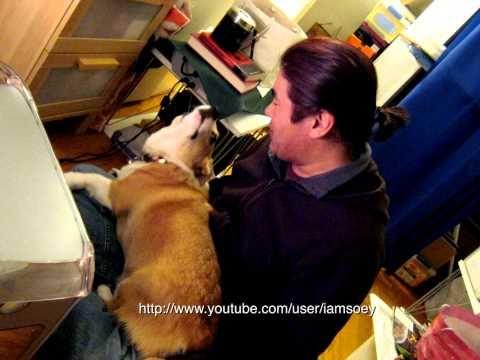 Attack of the Corgi puppy!