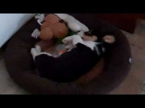 Jack The Corgi Playing and Squeaking