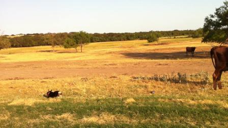 "Winnie's version of ""Herding"" a cow."