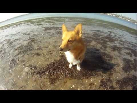 Corgi Time at the Fiesta Island Dog Park .mp4