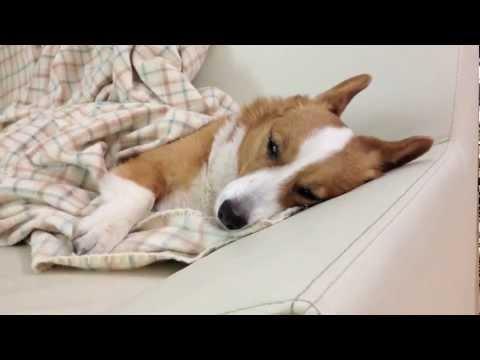 Corgi dreaming