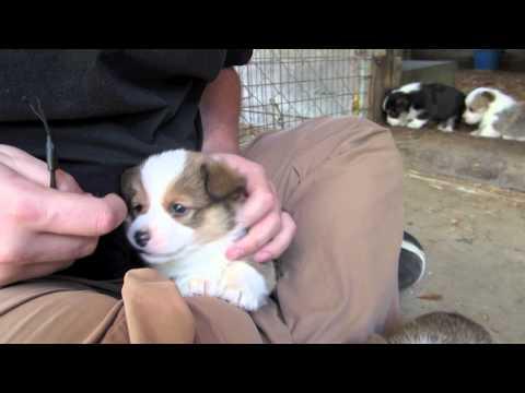 5 weeks old Welsh Corgi Pembroke Puppies