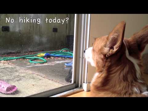 Corgi on a rainy day