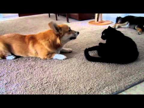 Corgi talks to cat