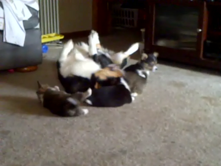 Corgi's pups playing with their daddy