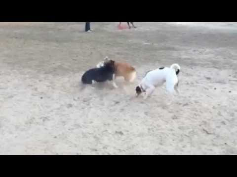 CorgiMania at the Dog Park