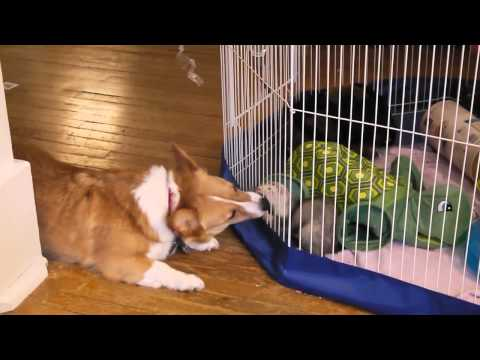 The Corgi & The Ferret