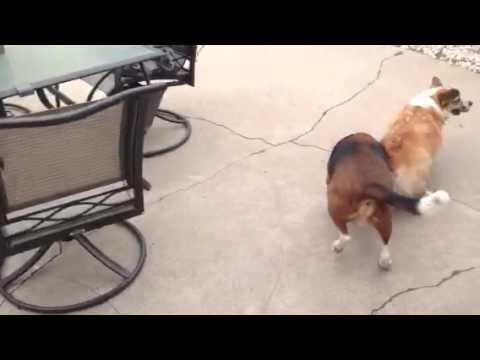 Beagle chasing corgi