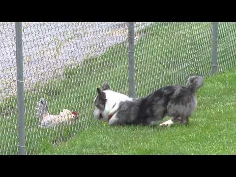 Frosty / Frankie Fence Battle