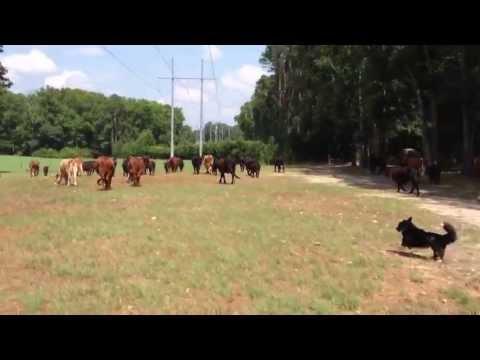 Gracie the Herding Corgi, Moving the Cows