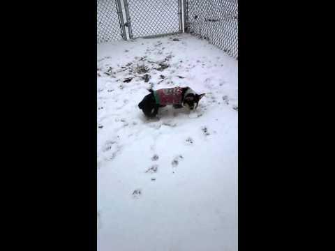 Our corgi's first snow