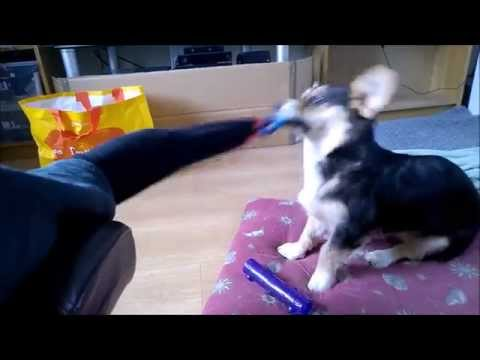 Cardigan Welsh Corgi Sock Thief