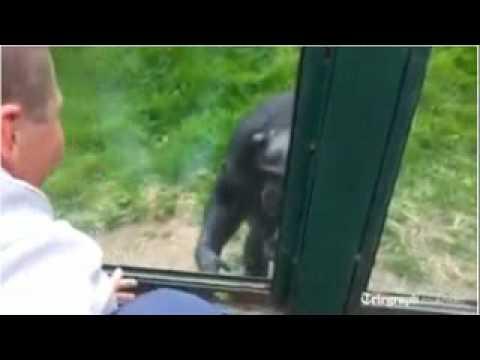 Chimpanzee's Sad Escape Plea