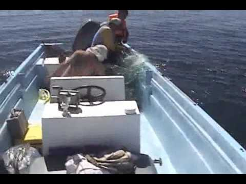 Young Humpback Rescued From Gill Net