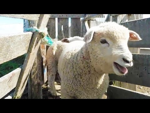 Exposed: Horrific Secret of 'Italian Wool'