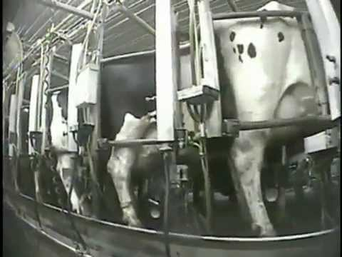 Mercy for Animals - New York's Largest Dairy Farm Investigation