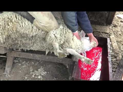 Major UK Wool Supplier Exposed: Sheep Mutilated and Killed