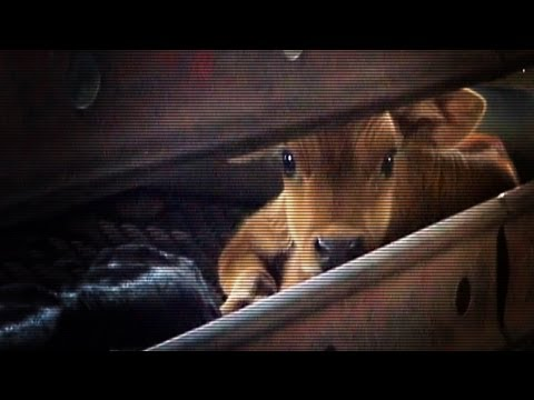 Hidden camera dairy calf investigation