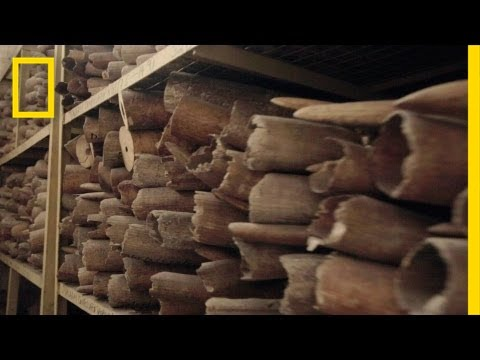 Series Intro: Inside the Ivory Trade | Battle for the Elephants