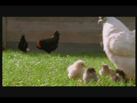 Call me Chicken: Herioc Hen Saves Her Chicks