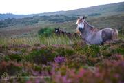 Forgotten Horses Ireland 42