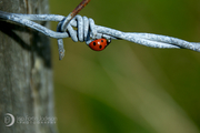 Ladybird on Lough Mohra