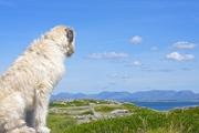 Tadhg the Irish Wolfhound in Carraroe