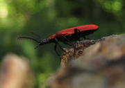 Black Headed Cardinal beetle