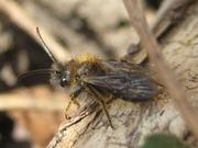 Andrena bicolor male0001