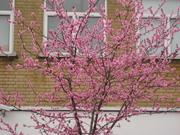 Prunus x amydalopersica0001