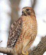 Bird walk and LIVE raptor show at Quinnipiac Meadows