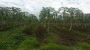 paw paw (Papaya) first  year trees