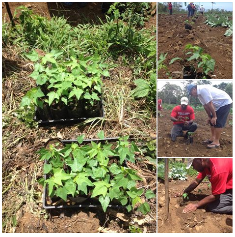 Papaya Seedlings
