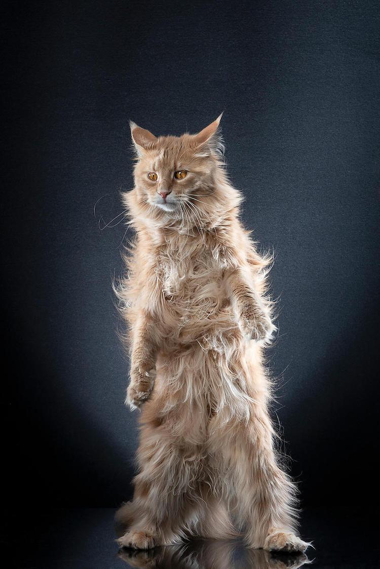 კატა, ცხოველები, ორფეხები, ფოტოგრაფია, qwelly, qwellynaria