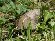 A Meadow Brown butterfly basking in the sunshine in the park this afternoon