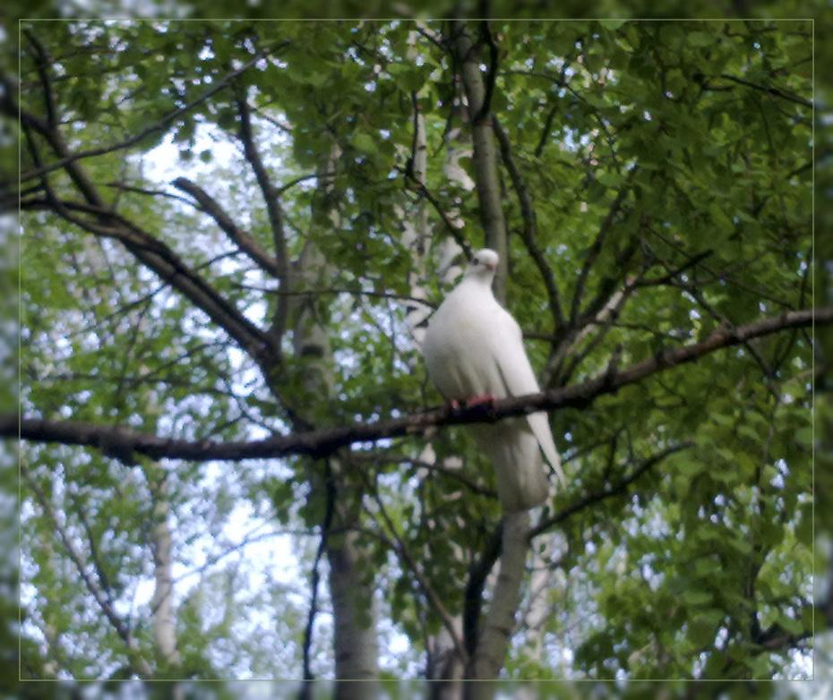 Белый голубь в лесу