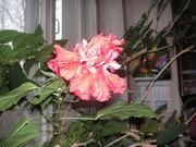 Роза-290