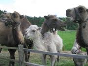 Верблюды, июнь 2010