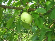 Зреет яблочко))