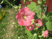 Шмель трудится внутри цветка