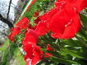 Мамины тюльпаны