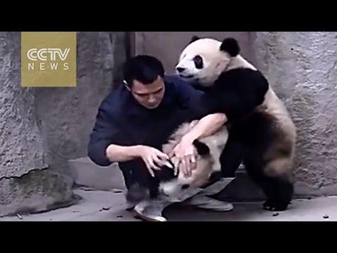 Los pandas no quieren tomar su medicina