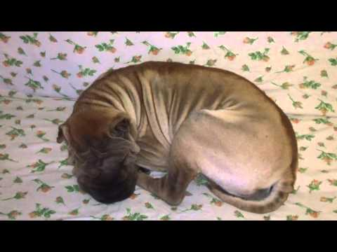 Margot Shar Pei Sleeping