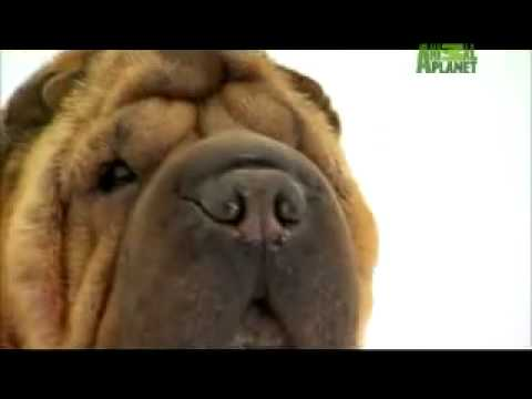 Dog Breeds 101 Video: Chinese Shar-Pei