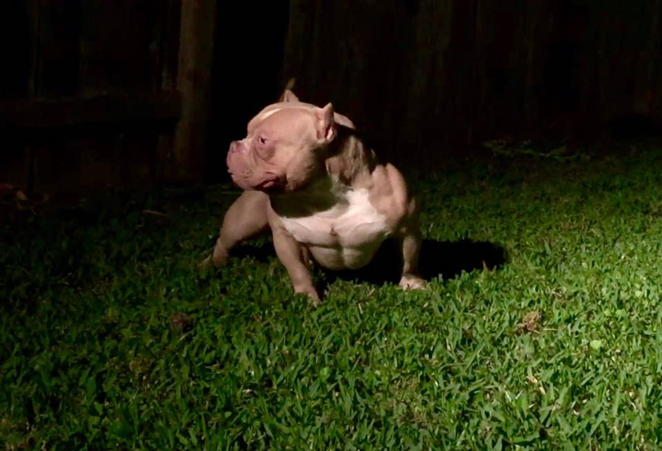 Westminster American Bully